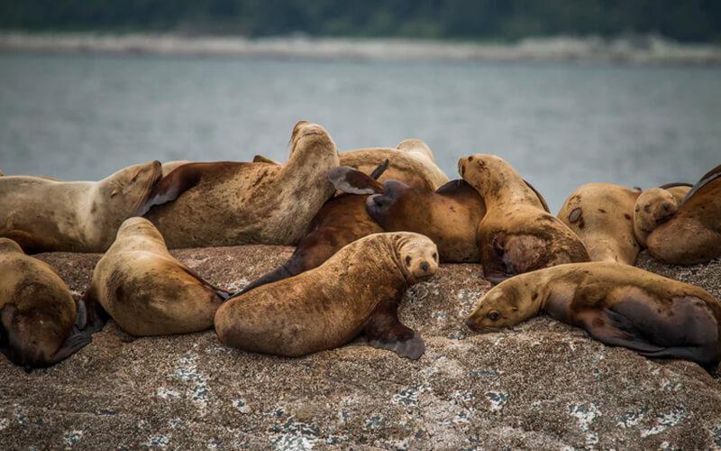 Manada de leones marinos