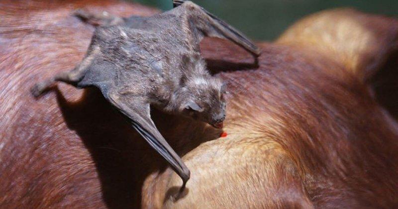 Podemos apreciar a un murciélago vampiro sacando sangre