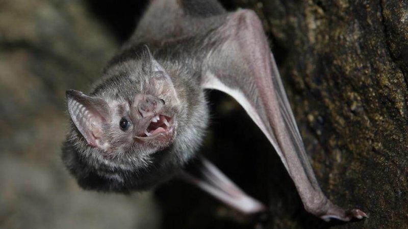 Un murciélago vampiro acechando en la oscuridad