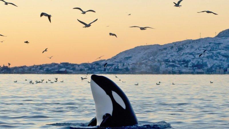 La orca es un mamífero y habita aguas frías.