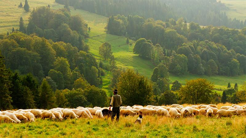 Rebaño de ovejas