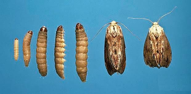 La evolución de la polilla.