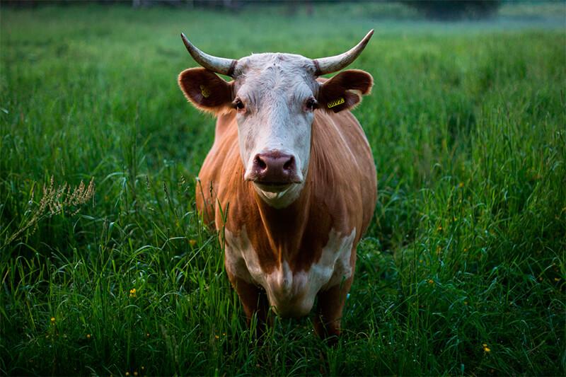 Vaca vista de frente