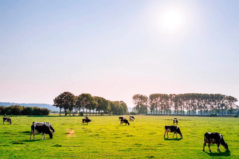 Vacas alimentándose de pasto