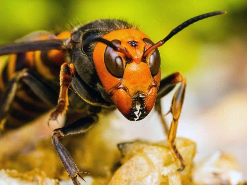 El avispón asiático gigante es un insecto violento.