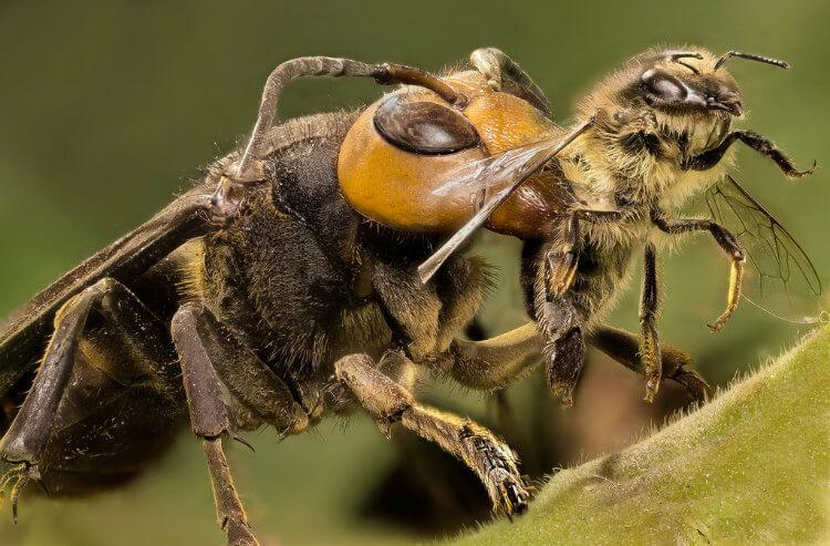 Un avispón asiático gigante justo en el momento de cazar a una abeja melífera.