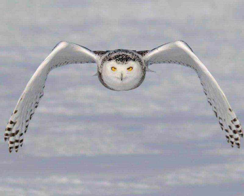 Apreciamos el hermoso vuelo de un búho nival
