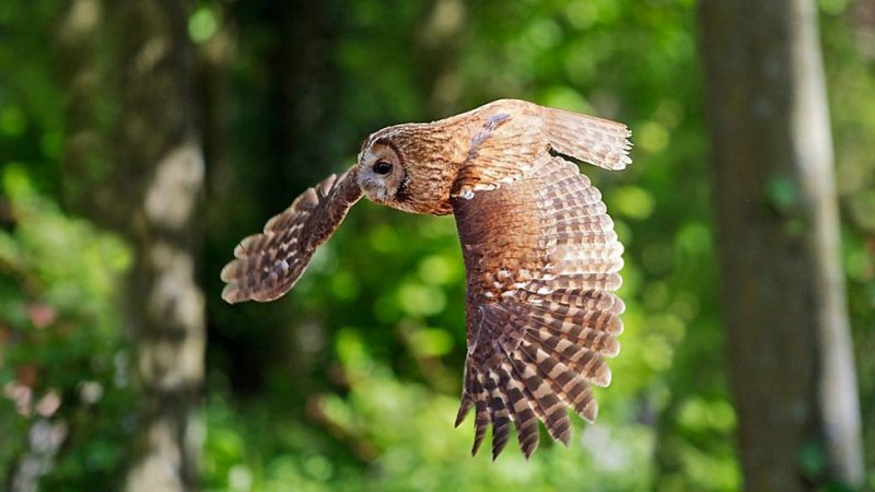 Las alas del cárabo común le permiten volar en silencio.