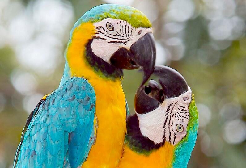 Una pareja de guacamayos disfrutando del amor.