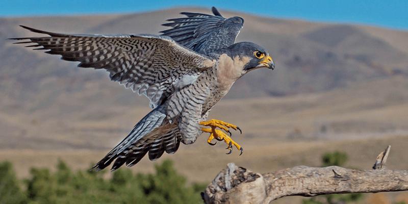 El halcón es el animal más rápido del mundo.