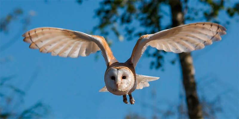 Lechuza común en pleno vuelo
