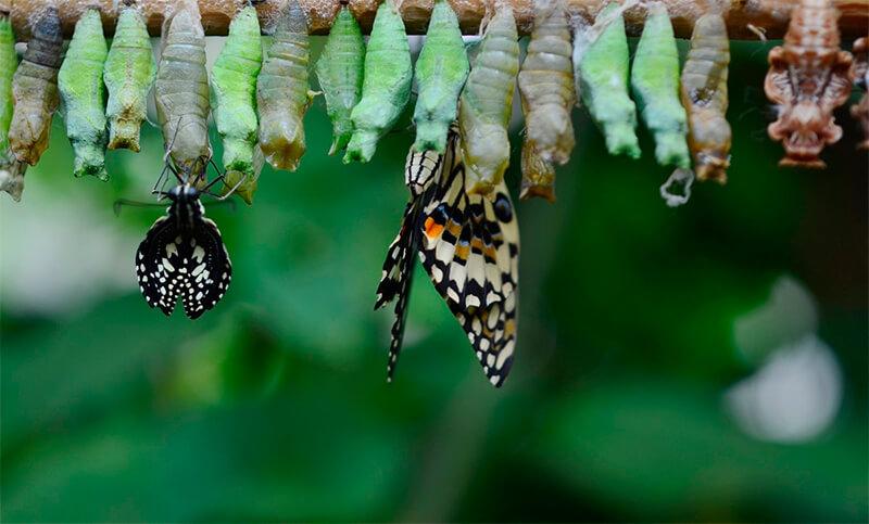 Mariposas saliendo de la pupa