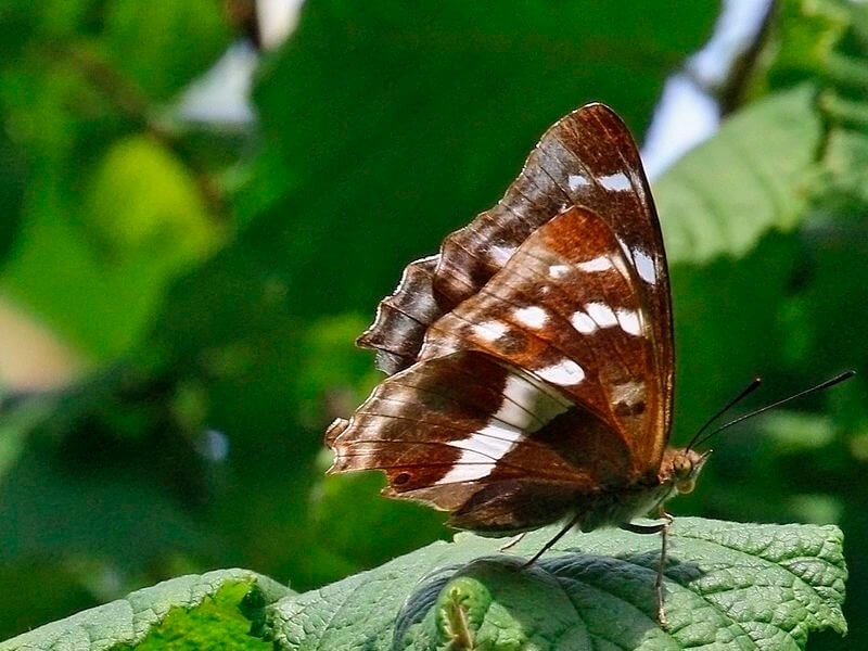 Ejemplar hembra de la mariposa emperador púrpura