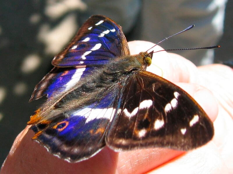 Ejemplar macho de la mariposa emperador púrpura