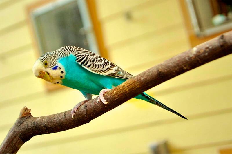 Variante de color de un periquito