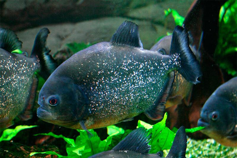 También es posible criar pirañas en acuarios