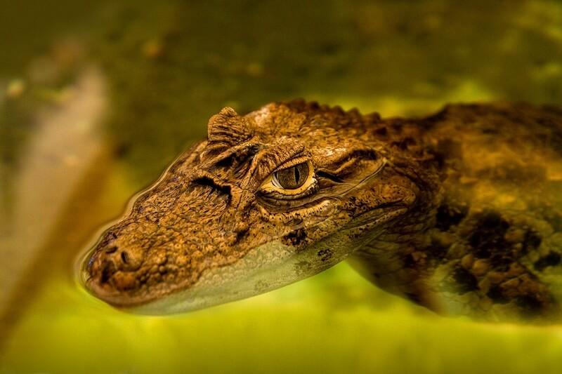 El caimán pasa la mayor parte de su vida en el agua.