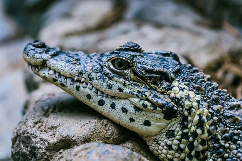 Son más pequeños que los cocodrilos.