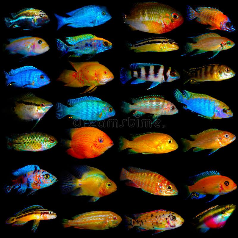 Collage con las algunas especies de cíclidos