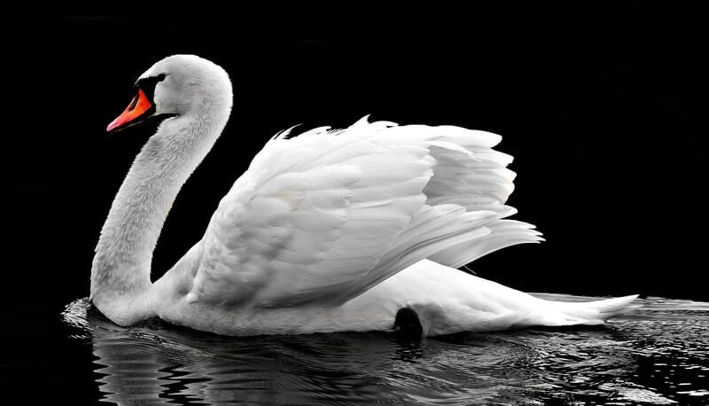 El cisne es un animal majestuoso.