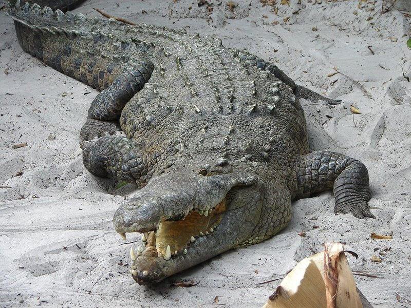 Un cocodrilo refrescándose.