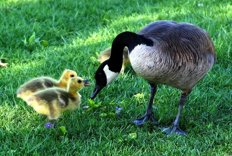 La cría del ganso se llama pollo.