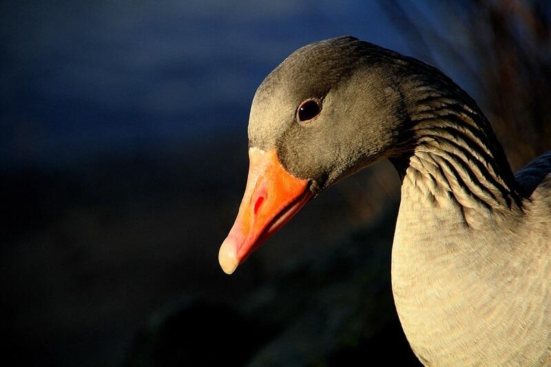 El ganso tiene un plumaje suave e impermeable.