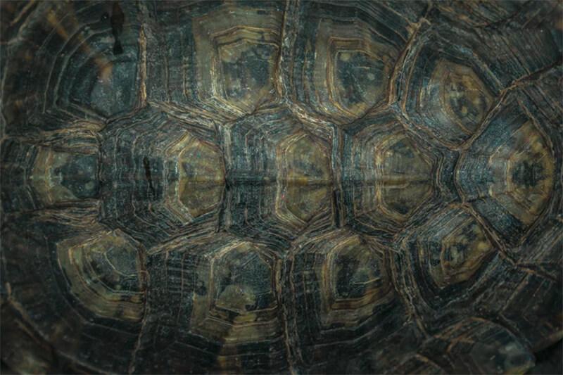 Caparazón de tortuga desde arriba