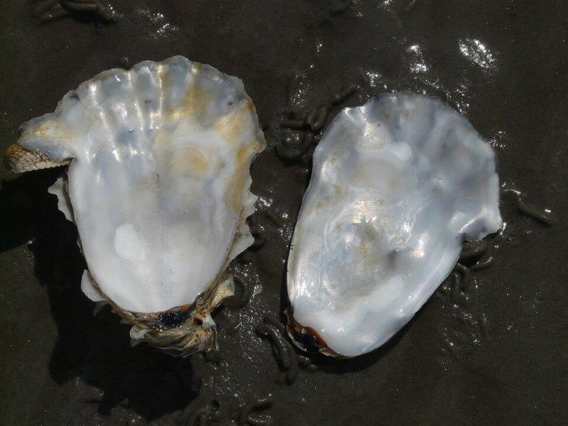 Podemos apreciar la concha de una ostra.