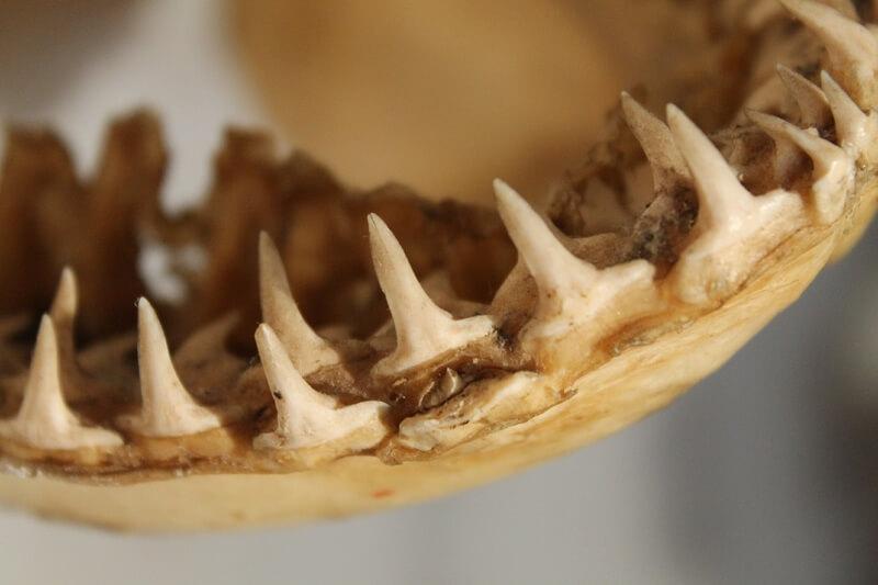 Un tiburón puede perder hasta 30 mil dientes a lo largo de su vida.