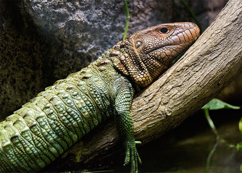 Perfil del lagarto caimán