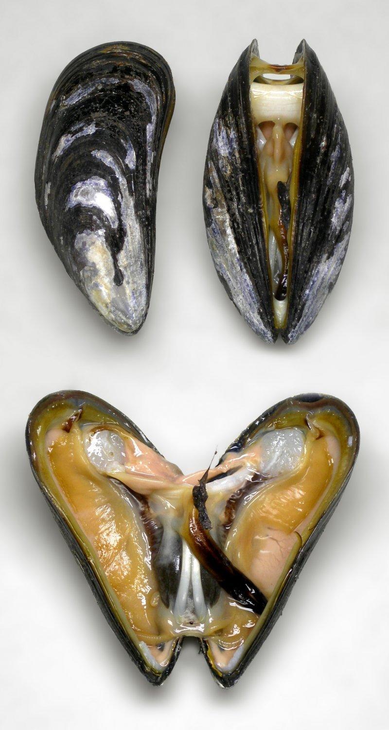 El cuerpo de una ostra.