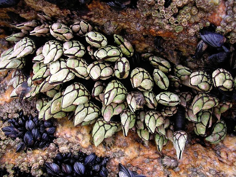 Colonia de percebes