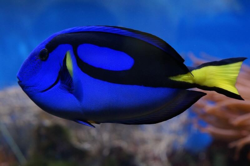 El pez cirujano azul también es conocido como el pez con el número 6.