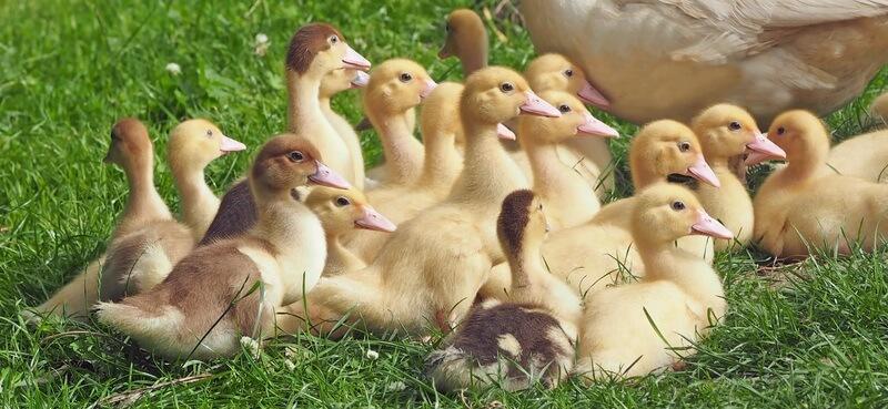 Los pollitos del pato siempre siguen a la madre.