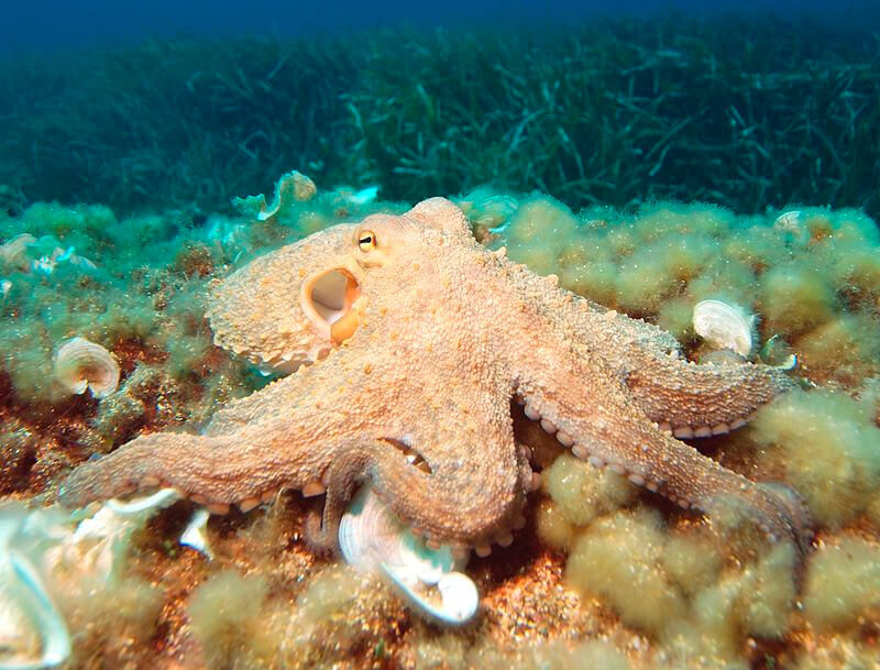 Pulpo común en el fondo marino