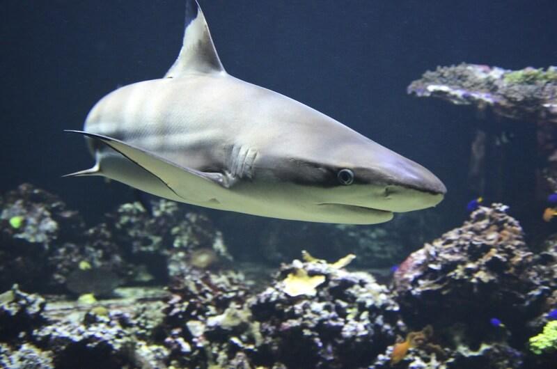 El tiburón es un animal que ha sobrevivido millones de años.
