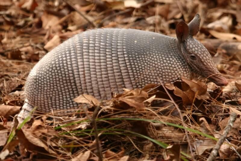 El armadillo es un pequeño mamífero caracterizados por tener un caparazón dorsal.