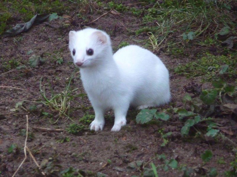 Podemos apreciar el pelaje blanco del armiño en invierno.