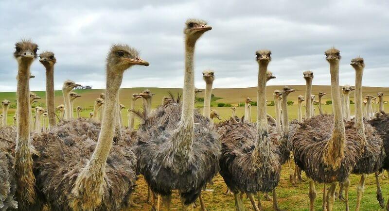 Una bandada de hembras de avestruz. Pueden vivir en bandadas muy pequeñas o muy grandes.