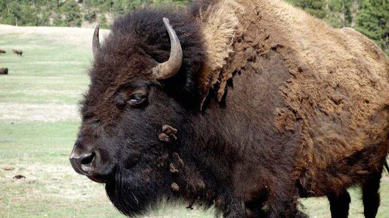 El bisonte macho es llamado también toro. La hembra, vaca.