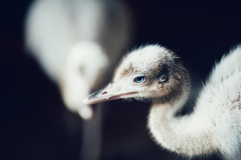 Una cría de avestruz.