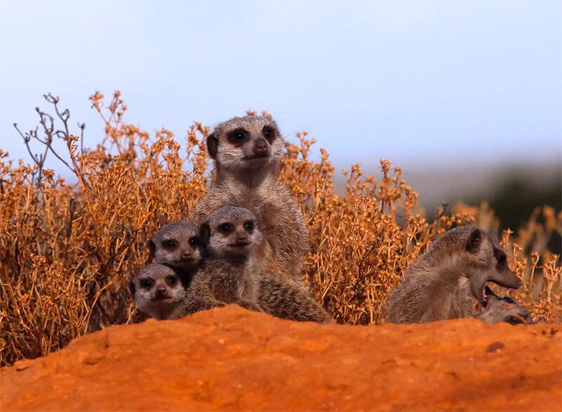 Grupo de suricatos vigilando