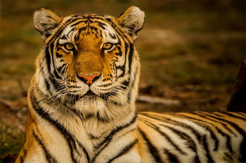 Primer plano de un tigre