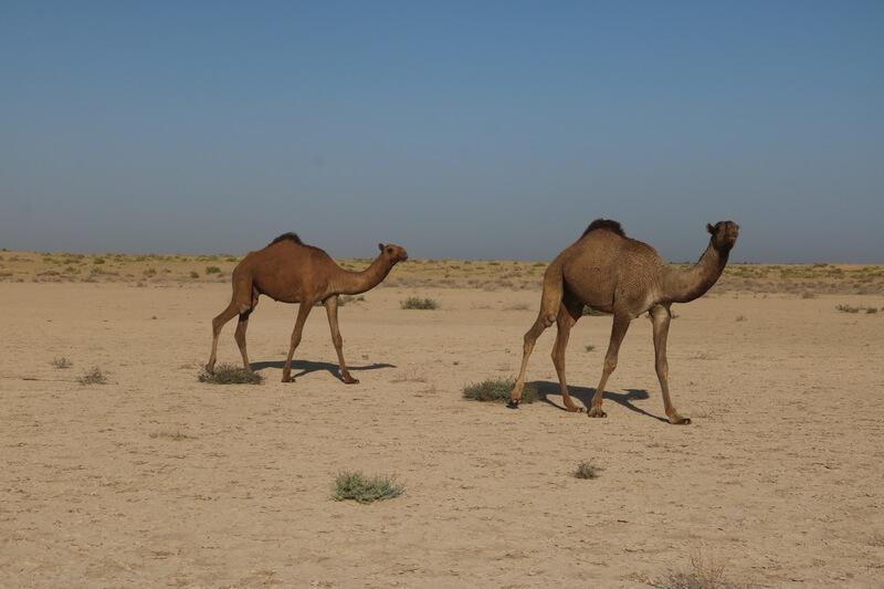 El camello es un animal muy social.