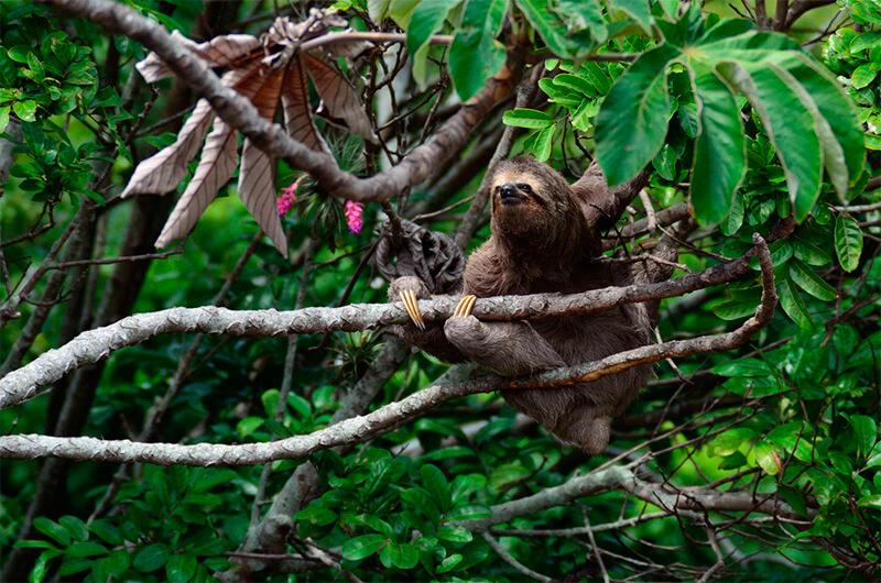 Perezoso trepando un árbol