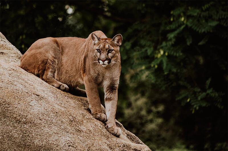 Puma en acecho sobre una roca