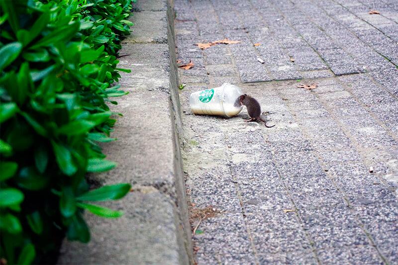 Rata bebiendo café