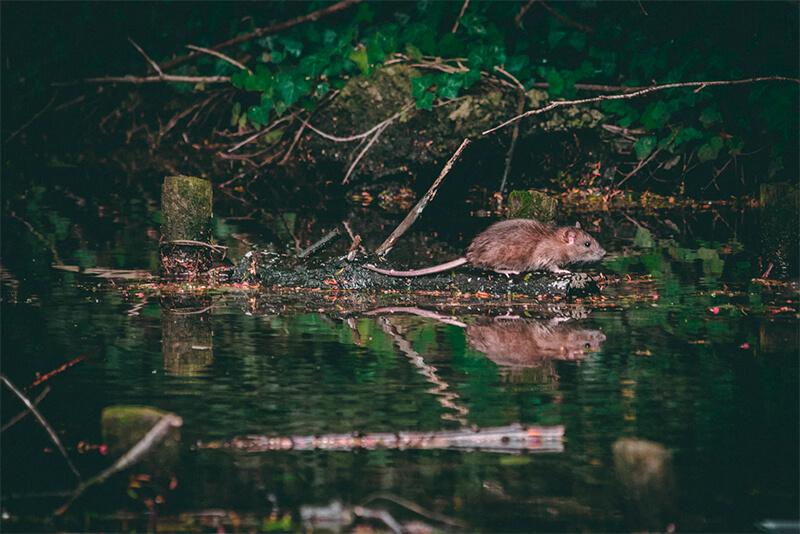 Rata nadadora cerca de un río