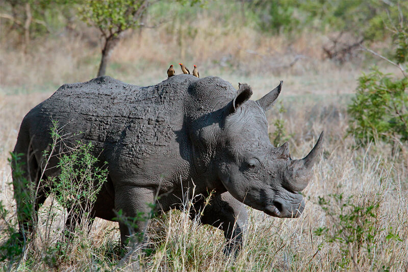 Rinoceronte negro (Diceros bicornis)